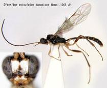 Diacritus aciculatus japonicus Momoi, 1966 male (undescribed)