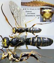 オオフトマルヒメバチ Euceros pruinosus (Gravenhorst, 1829) male