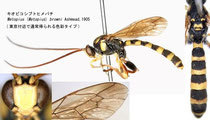 キオビコシブトヒメバチ Metopius (Metopius) browni Ashmead, 1905 (Blackish body color)