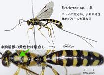 Epirhyssa sp. female