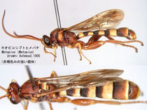 キオビコシブトヒメバチ Metopius (Metopius) browni Ashmead, 1905 (Reddish body color)