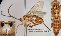 Theronia (Theronia) zebra diluta Gupta, 1962 female