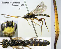 Euceros clypealis Barron, 1978  male