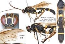 アラカワメンガタヒメバチ Metopius (Peltastes) arakawai Uchida, 1930