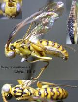 Euceros kiushuensis Uchida, 1958  male