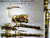 エゾオナガバチ Megarhyssa jezoensis (Matsumura, 1912) female