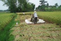 Arbeiten am Reisfeld