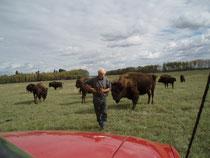 wir durften mit Henry seine Bisons besuchen .... ca. 500 Stück