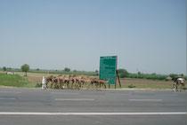 Kamele auf der Autobahn