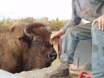 sein Lieblings-Bison