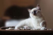 ragdoll male  se*neverfurget brownie