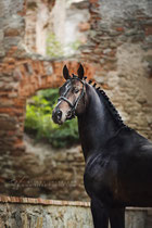 Stallion Samba Boy, Mazurek Horse Team