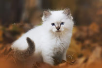 ragdoll male  se*neverfurget honeybush tea