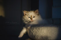 ragdoll female se*neverfurget irish coffee