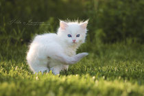 ragdoll male se*nameme marshmallow
