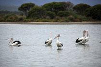 wieder mal Pelikane