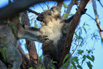 ....aber auch bei den Koalas muss mal gezeigt werden, wer der herr im Haus ist!!