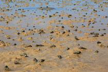 Kgelschnecken im Wasser