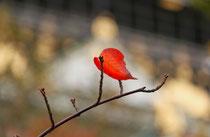 「紅 一葉(くれない ひとは)」大阪城公園(横山雅生)
