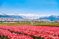 舟川べり桜並木とチューリップ(下新川郡朝日町)