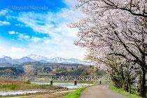 神通川・塩の千本桜と高山線(富山市)