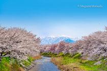 舟川べり桜並木(下新川郡朝日町)