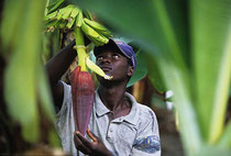 Dominikanische Republik: Saisonarbeiter aus Haiti übernehmen die Hauptarbeit in den Bananenkulturen der Dominikanischen Republik - meist für einen Hungerlohn