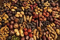Sorten - und Geschmackvielfalt - je nach Lage und Klima gedeihen die unterschiedlichen Sorten / Kartoffeln - Peru