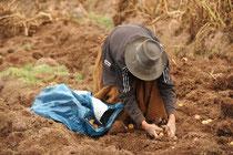 Kartoffelernte im peruanischen Hochland von Ayacucho / Kartoffeln - Peru