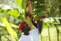 "Uganda: Junge Bananenstauden in einer ""Biologisch- Dynamisch"" zertifizierten Kultur in Uganda"