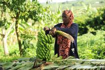 """Uganda: Ernte von organisch angebauten Bananen für """"Kipepeo"""" in Neuffen"""