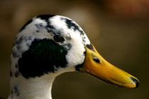 ich mag Ente scharf