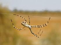 eine Spinne in der Wüste Usbekistans