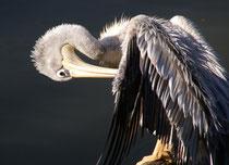 es juckt den Pelikan...