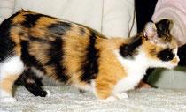 Munchkin, 1195, NY, Madison Square Garden, CFA Cat Show,Foto: ©Birgitta