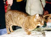 Munchkin, 1995, NY, Madison Square Garden, CFA Cat Show,  Foto: ©Birgitta