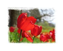 Tulpen 6009