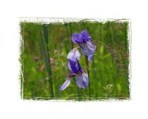 Irisblüte 2439