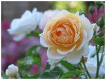 Rose 0431