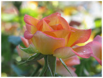 Rose 0956