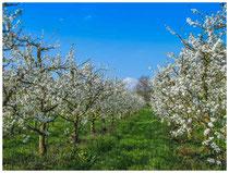 Blühende Obstbäumchen 6063
