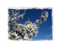 Schlehenblüten 2223