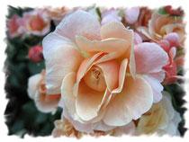 Rose 5901