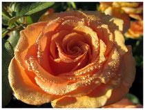 Rose 0839
