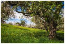 Blühende Obstbäume 9068