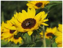 Sonnenblume 1550