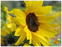 Sonnenblume 8043