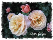 Rose 5900