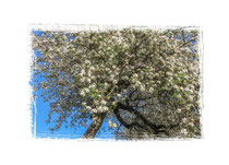 Apfelblüten 3561