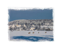 Rehe im Schnee 0043